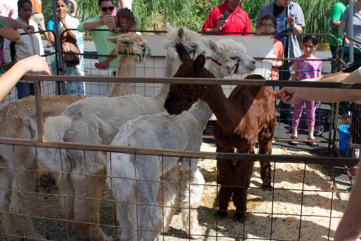 Alpaca at Kirkland Uncorked